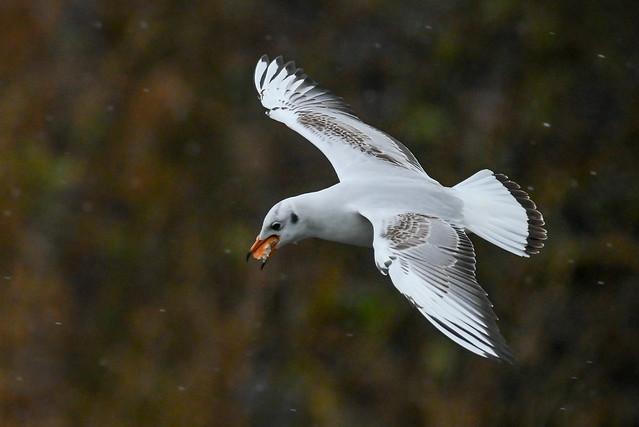 Hættemåge, Black-headed gull, Lachmöwe (Chroicocephalus ridibundus)-0378
