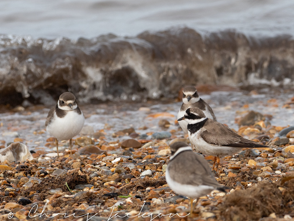 Oyster Catchers and Knotts