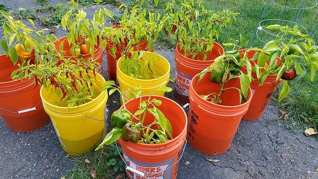 peppers_in_buckets