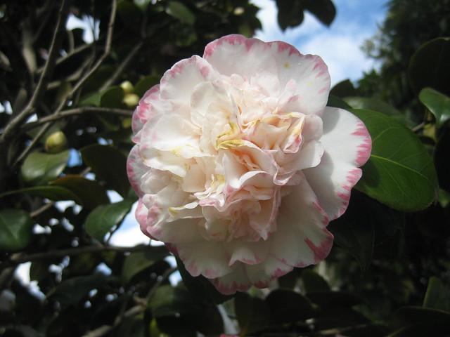 Margaret Davis Camellia Blooms - Preston