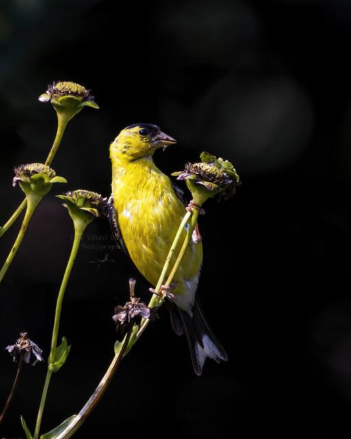 American Goldfinch on Cupflower