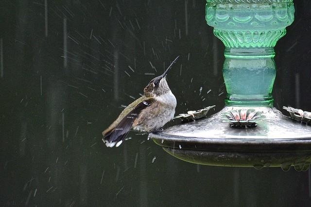 Hummingbird on Rainy Day