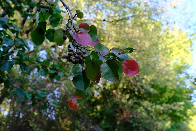 Mexican Decorative Pear Fall Color
