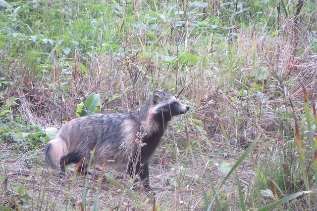 Kährik / Nyctereutes procyonoides / Raccoon dog