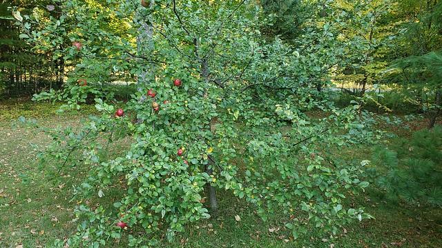 apple_tree_2