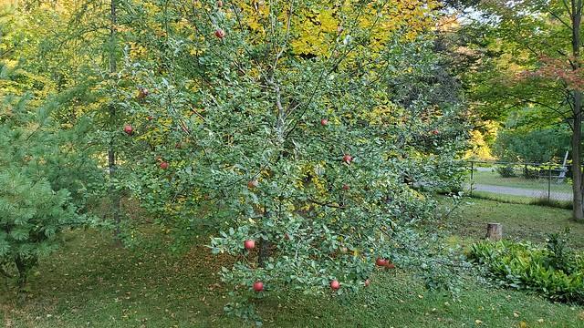 apple_tree_1
