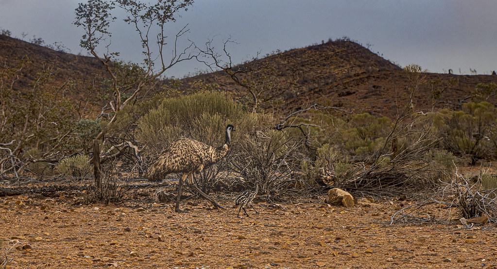 Emu dad and chicks