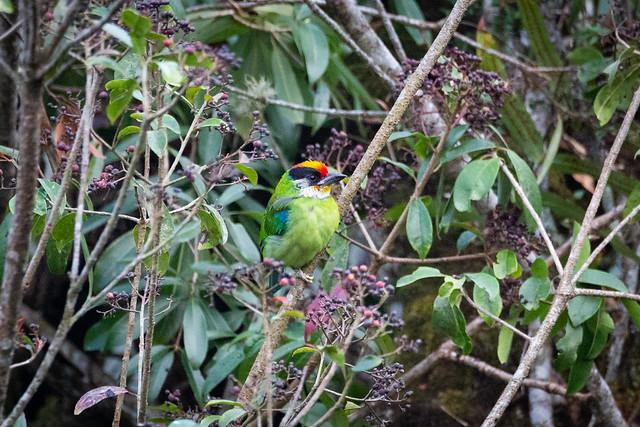Golden-throated Barbet | Lava