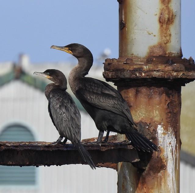Neotropic Cormorant (bird on left)
