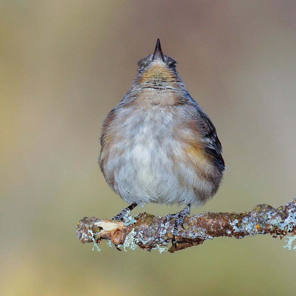 Yellow-rumped Warbler - Central ORegon, USA