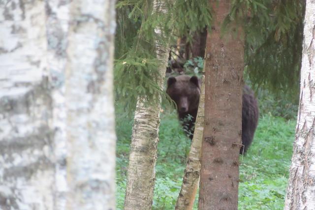 My first photo of Brown bear / Ursus arctos / Mõmm