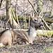Rådyr, Roe deer, Reh (Capreolus capreolus)-1140