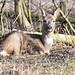 Rådyr, Roe deer, Reh (Capreolus capreolus)-1128