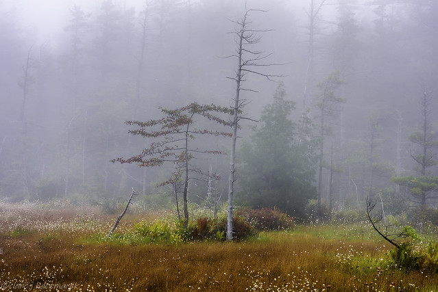 Fog on Spruce Flats