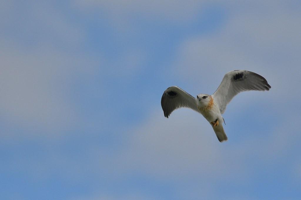Black-shouldered Kite (Juv. )