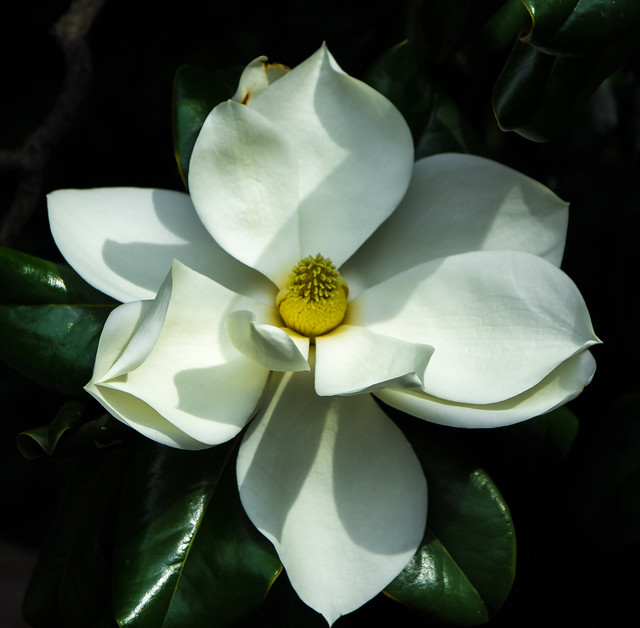 TNcapitalflower