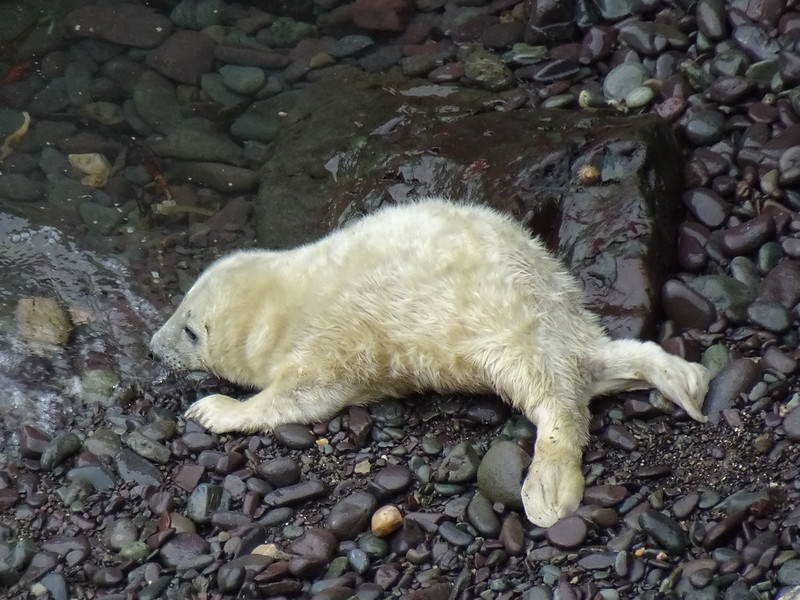 Determined seal pup, Porthaflod