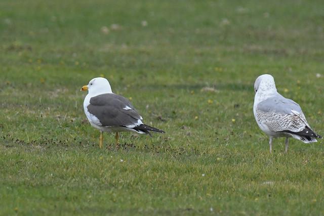 Sildemåge, Lesser black-backed gull, Heringsmöwe (Larus fuscus)-2120