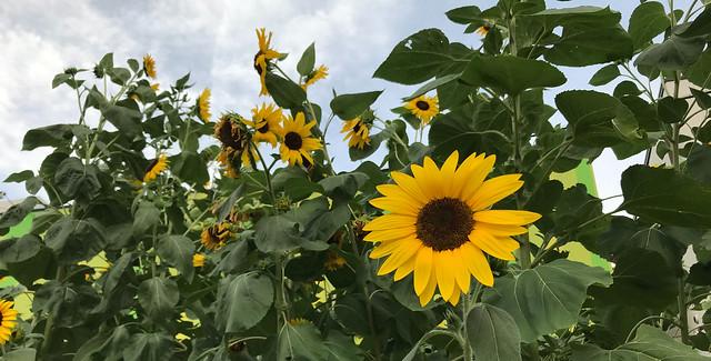 Sunflowers, wasabi and cucumbers @Aug2021