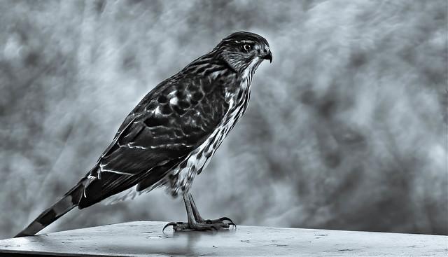 Juvenile Cooper's Hawk #5