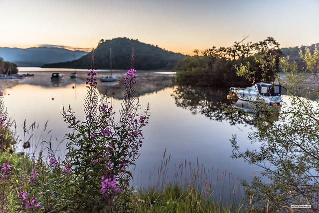 Focus on the shoreline Rosebay Willowherb. The soft, clear, dawn light of a Loch Lomond sunrise at 04:52, as water-vapour rises from the breathlessly still waters of the island-studded lake, Argyll, Scotland.