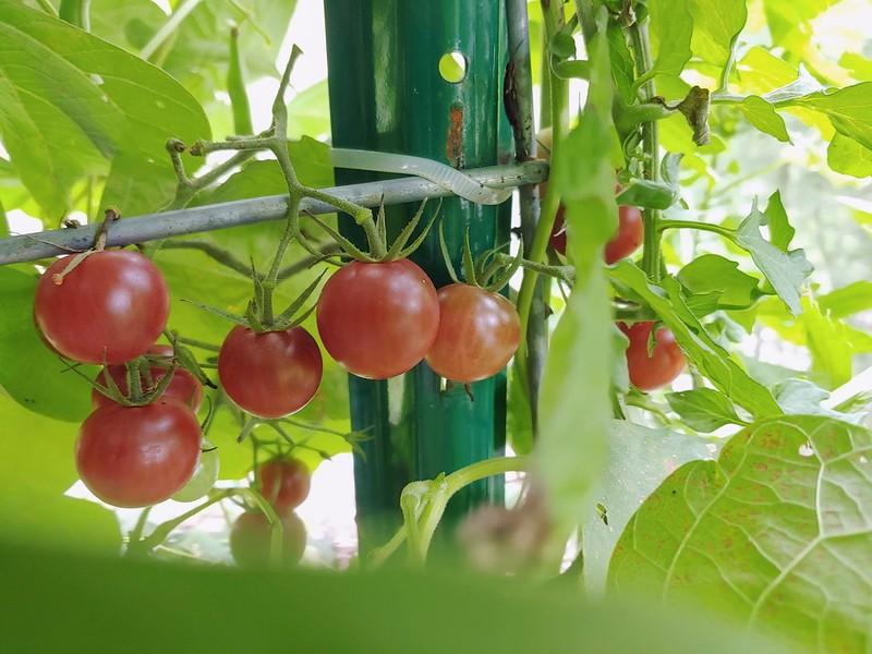 Chocolate Cherry Tomatoes