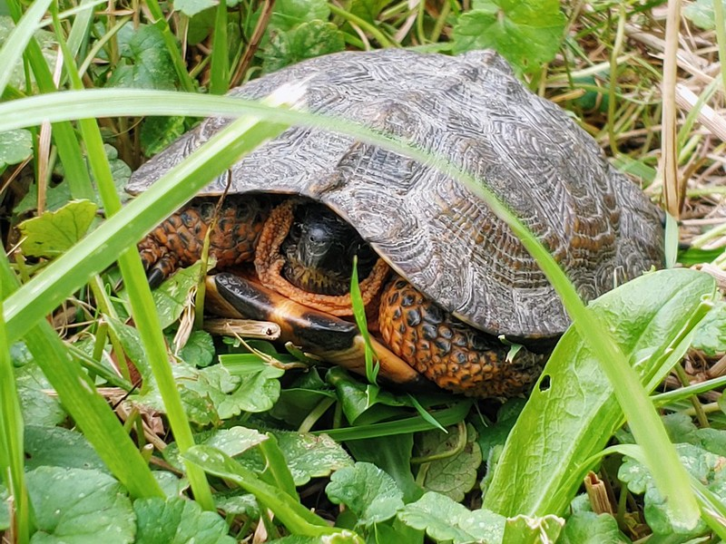 Turtle in the meadow