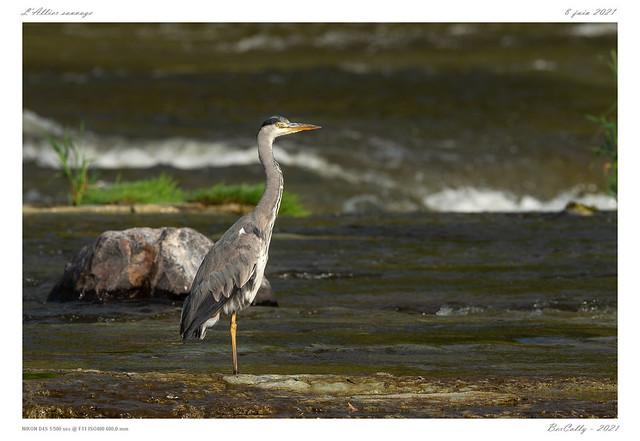 Le héron cendré | Grey Heron