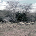 TZ Lake Manyara Safari - zebra - 1965 (W65-A76-13)--Moldy
