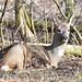 Rådyr, Roe deer, Reh (Capreolus capreolus)-1135