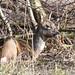 Rådyr, Roe deer, Reh (Capreolus capreolus)-1144