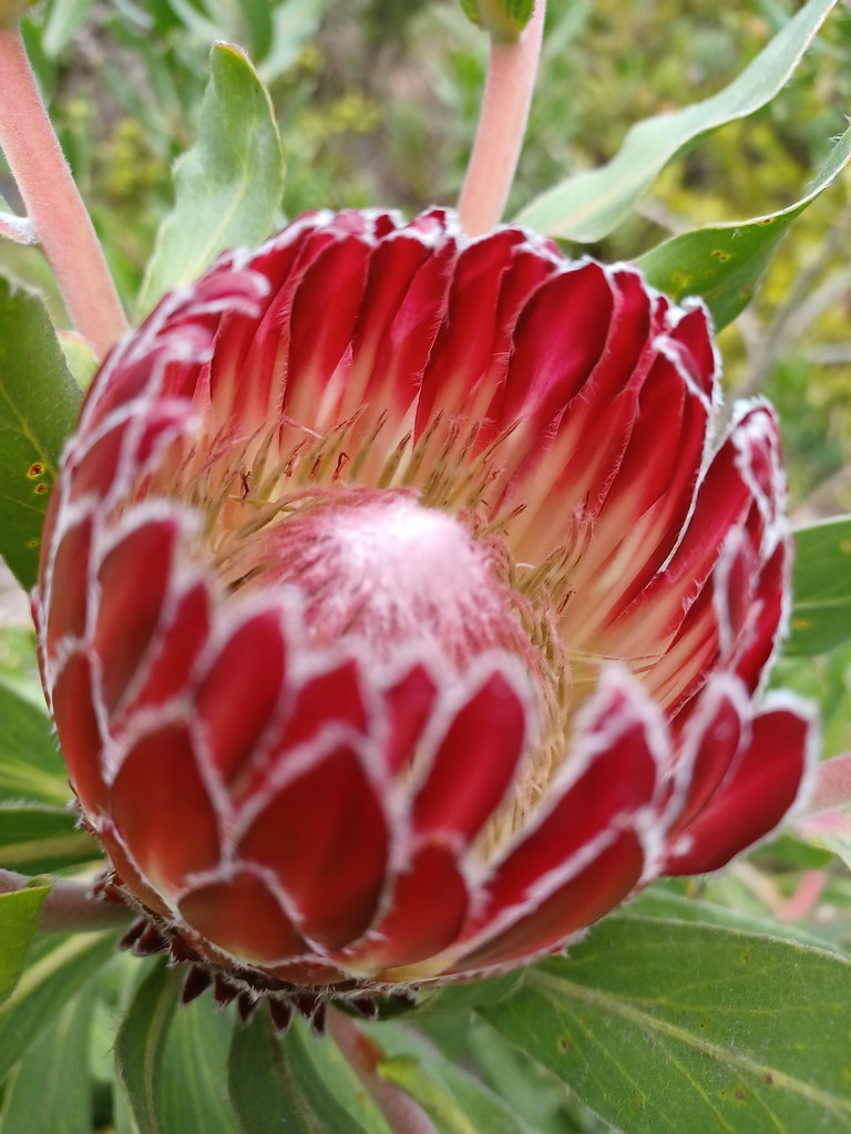 unidentified protea  ☆ South Africa garden ☆ San Francisco Botanical Garden   20210918_153129