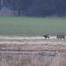 Rådyr, Roe deer, Reh (Capreolus capreolus)-1095