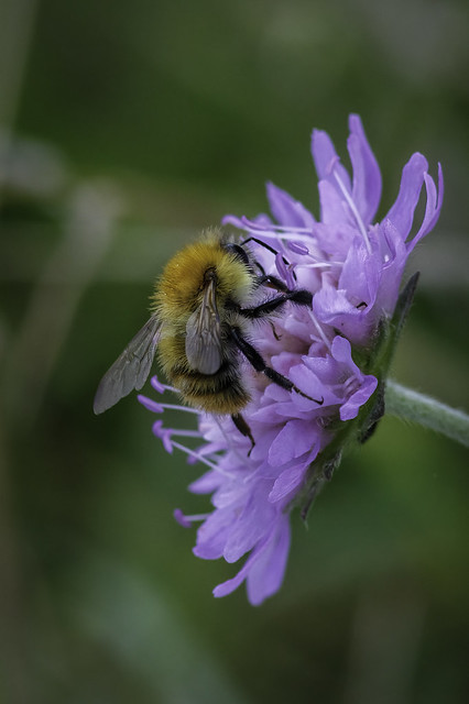 Bumble Bee on Field Scabious