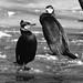 Skarv, Great cormorant, Kormoran (Phalacrocorax carbo)-0364
