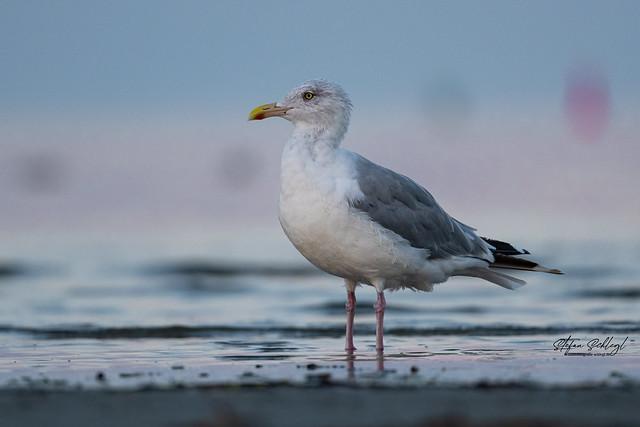 Silbermöwe / European Herring Gull / Larus argentatus