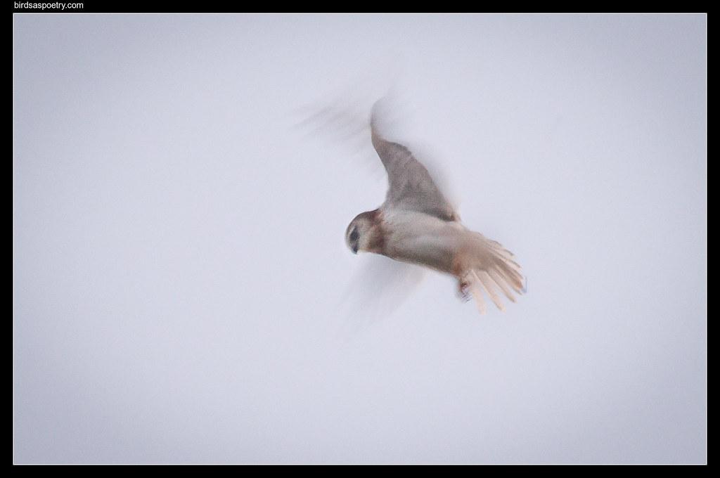 "Black-shouldered Kite: ""Practice"""