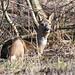 Rådyr, Roe deer, Reh (Capreolus capreolus)-1147