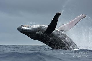 Guardate la balena mostrare gratitudine alla coppia corsa in suo soccorso