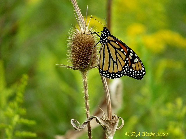 Monarch on Teasel