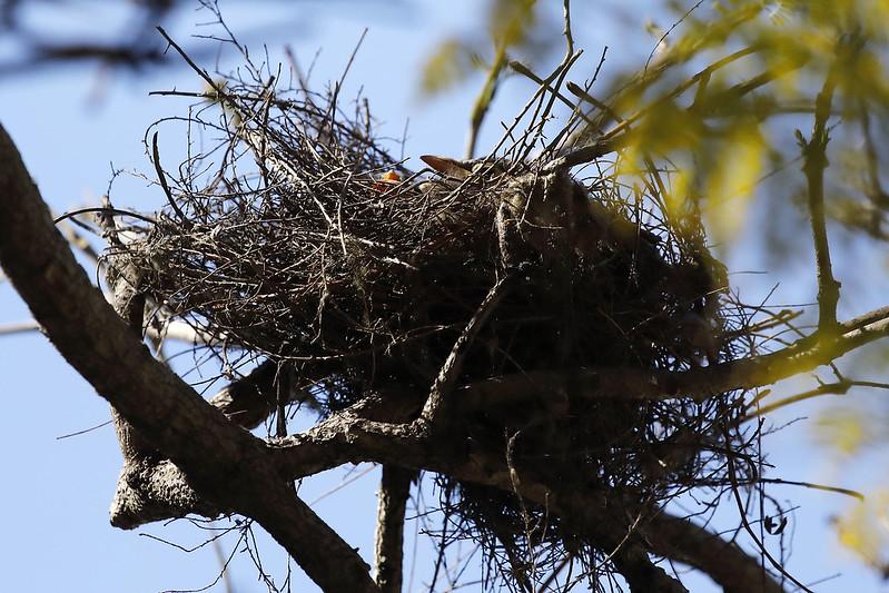Noisy miner nest