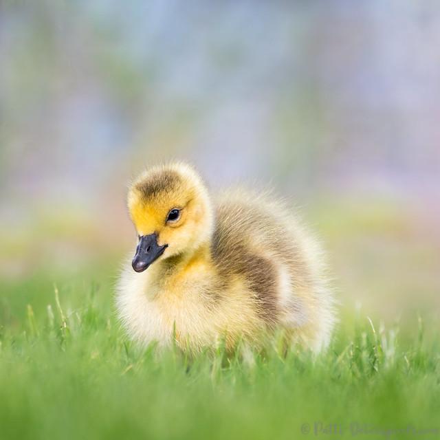 Gosling in Grass of Green