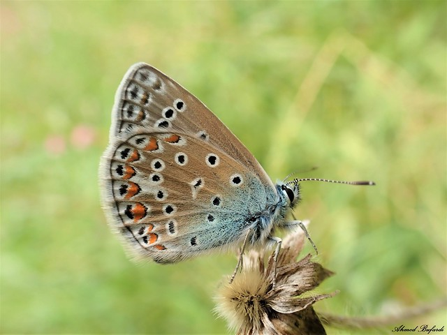 Butterfly 2054 (Polyommatus icarus)