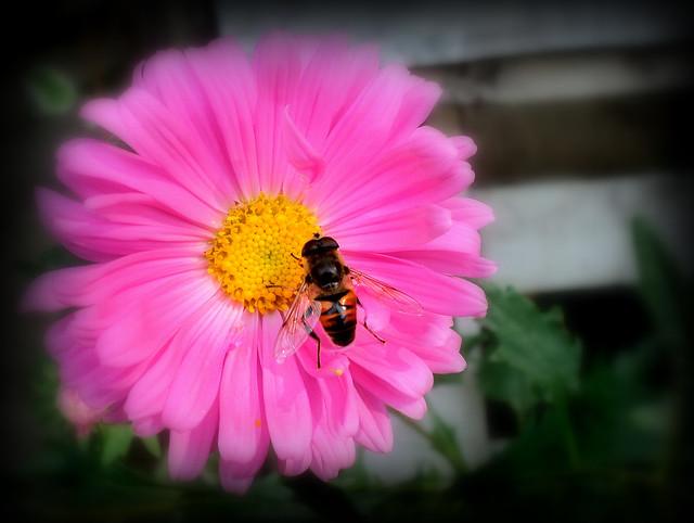 Хризантема (Chrysanthemum) / Осолика мува (Eristalis tenax)
