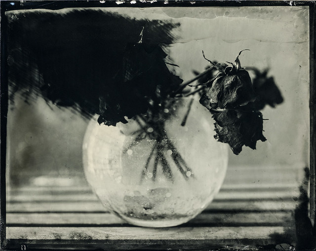 Wilted - 4x5 Tintype (failure)