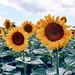 Sunflowers, Bulgaria