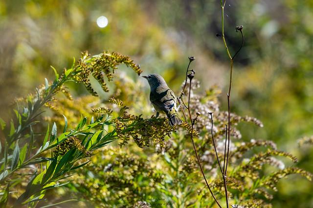 Paruline Verdâtre - Leiothlypis celata - Orange-crowned Warbler