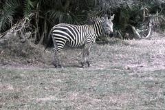 TZ Lake Manyara Safari - zebra - 1965 (W65-A76-15)