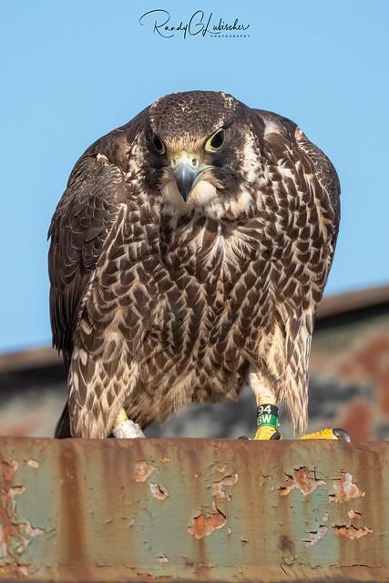 Peregrine Falcon - Falco peregrinus | 2020 - 27