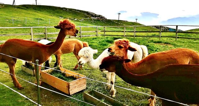 Italien,  Italy , In Malcesine(TN) am Gardasee - Auf dem Monte Baldo (1760m), Alpacas,  Lamas, 79224/20052